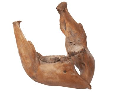 Челюсть мамонта