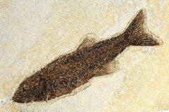 Рыба Miopolosus sp.