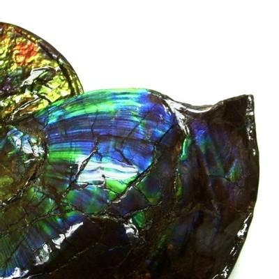 Аммолитовый аммонит Placenticeras costatum