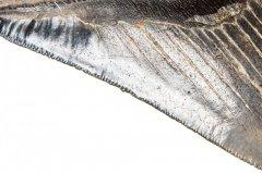 Зуб мегалодона коллекционного качества 11 см