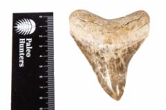 Зуб мегалодона коллекционного качества 9 см