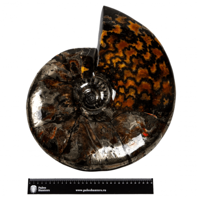 Аммонит Craspedodiscus discofalcatus на подставке