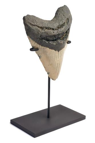Зуб мегалодона 12,7 см