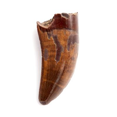 Зуб динозавра из семейства дромеозаврид