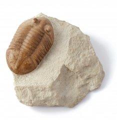 Трилобит Asaphus plautini
