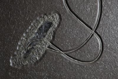 Морская лилия (криноидея)