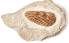 Трилобит Pliomera fischeri